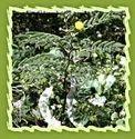 Acacia, Acacia Tree, Arabic Gum, Arabic Tree, Gum Tree