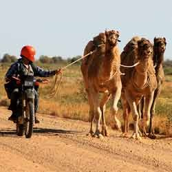 Camel Trainer Feed