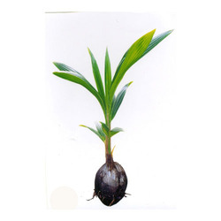 Coconut Seedlings