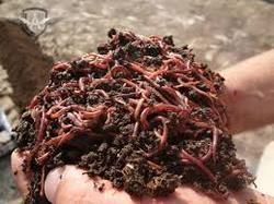 Vermicomposting Earth Worms