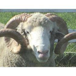Sheep Breeder Feed