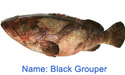 Blacl Fish Grouper Fish