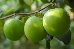 Taiwan Apple Fruit