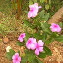 Vinca Rosea Leaves and Roots