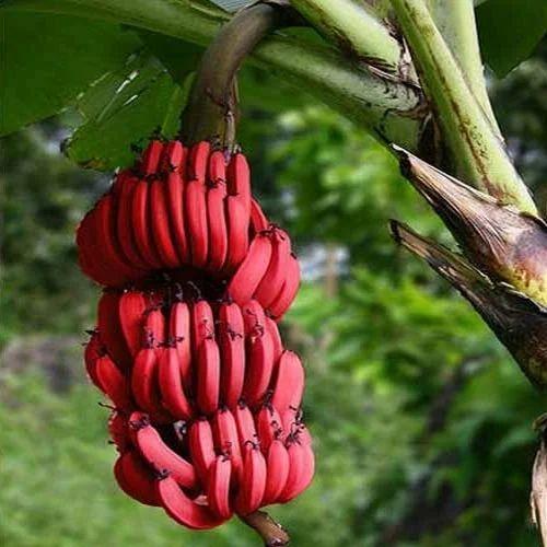 red-banana-500x500 - Unsa toy pangalan aning klaseha sa saging? - Pulong Bisaya