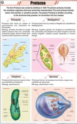 Protozoa For Zoology Chart