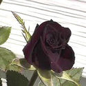 Black Lady Rose