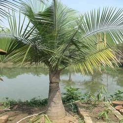 Rexona Palms