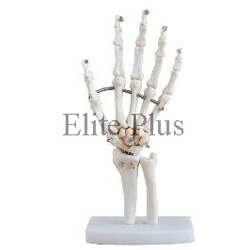 Life Size Hand Joint Models