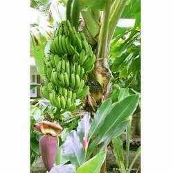 Banana Fruit Tree