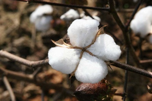 Cotton Raw Material
