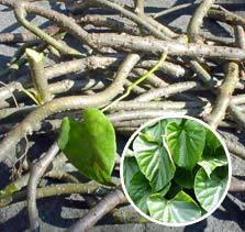 tinospora cordifolia extract guduchi