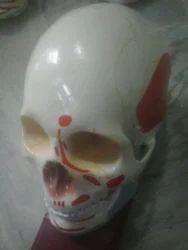 Fetal Skull Model Colored