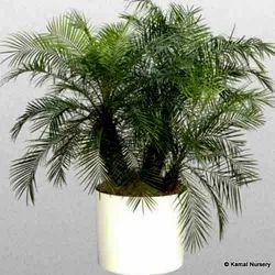 Phoenix Roebeleni Ornamental Palm