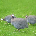 Guinea Fowl Finisher Feed