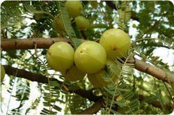 Herbal Digestive Amla