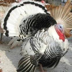 Turkey Grower Feed
