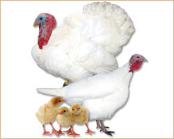 Breasted Large White Turkey Farming