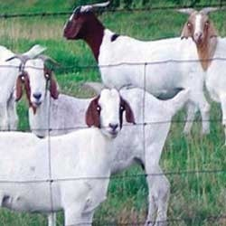 Goat Farming Consultancy
