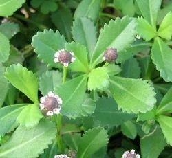 Lippia Nodiflora Mich