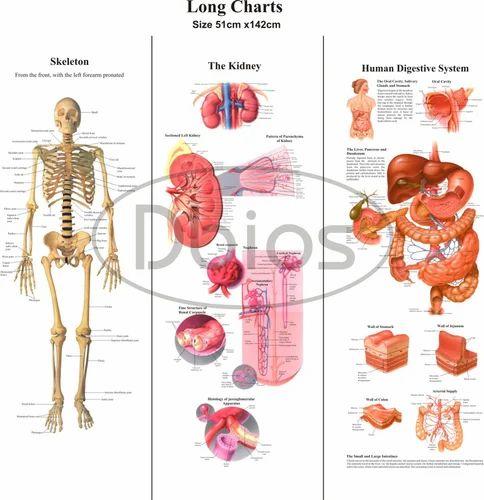 Anatomy Chart - Anatomy Charts Exporter from Ambala