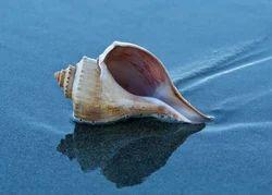 Tonna Sea Shells