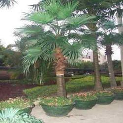 washington palm
