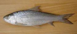 labeo bata fish seed