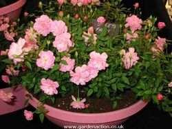 Minichar Rose Plants