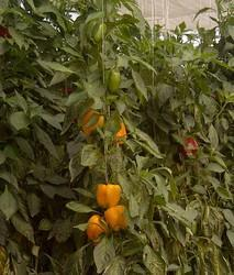 Capsicum Plant