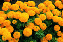 Calcutta Marigold Rooted Cuttings