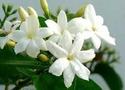 Jasmine Pure Flower Oil