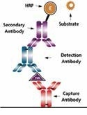 Antibody Capture Elisa Teaching Kit