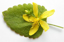 Lemon Balm Extracts Melissa Officinalis Extracts
