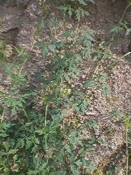 Cardiospermum Halicacabum L