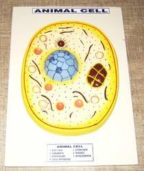 Animal Cell Model on Board