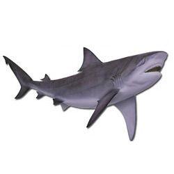 fresh shark fish