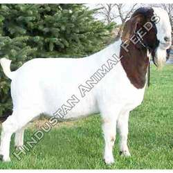 Dairy Goat Feed