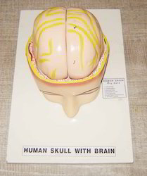 Human Skull with Brain On Board