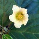 Bala / Sida Cordifolia