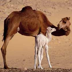 Camel Calf Grower Feed