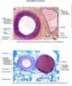 Histological Charts