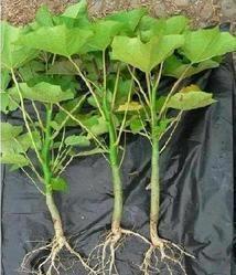 Jatropha Plants and Nursery