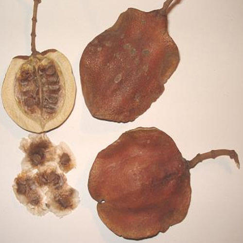 how to grow a tree from a seed pod