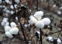 medium staple cotton