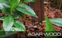 Agar Wood Plantation