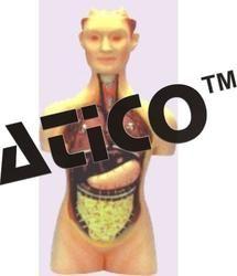 Torso Half Size With Head
