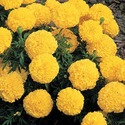 Hybrid Flower Seeds Tegetse Erecta (Marigold)-F1 Visa Yellow