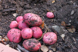 red potato seed