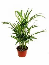 Areca Palm Tree 3 stems